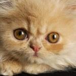 Persian kitten macro — Stock Photo #13923043