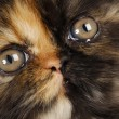 Persian kitten — Stock Photo #13923468