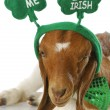 Stock Photo: St patricks day goat