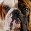 English bulldog portrait — Stock Photo