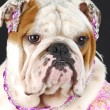 Female english bulldog — Stock Photo #13924947