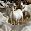 Dairy goat farming - Stock Photo