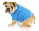 Dog wearing sweater — Stock Photo