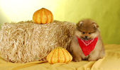Pomeranian puppy — Stock Photo