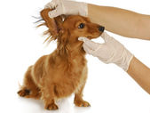 Veterinary examination — Stock Photo