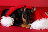 Puppy chewing on santa hat — Stock Photo