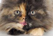 Persian kitten — Stock Photo