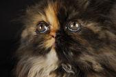 Persian kitten portrait — Stock Photo