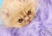 Persian kitten peeking — Stock Photo