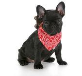 Western dog — Stock fotografie