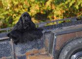 Cocker spaniel in rusty trailer — Stock Photo