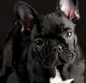 French bulldog portrait — Stock Photo