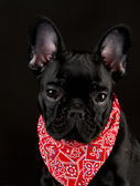 Dog wearing red bandanna — Stock Photo