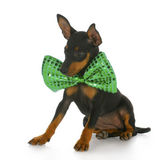 Puppy wearing large bowtie — Stock Photo