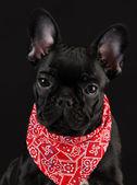Dog wearing red scarf — Stockfoto