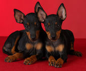 Manchester terrier puppies — Stock Photo