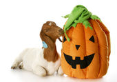 Goat and halloween pumpkin — Stock Photo