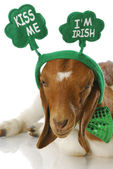 St patricks day goat — Stock Photo