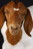 Goat portrait — Stock Photo