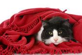 Kot ukrywa się pod koc — Zdjęcie stockowe