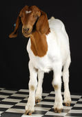 Goat standing — Stock Photo
