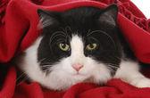 Cat hiding under blanket — Stock Photo