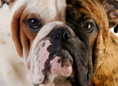 English bulldog portrait — Stock Photo