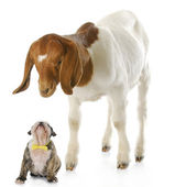 Puppy and goat — Stock Photo