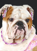 Female english bulldog — Stock Photo