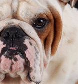 Bulldog macro — Stock Photo
