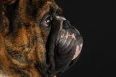 英語のブルドッグの横顔 — ストック写真