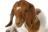 Goat doeling — Stock Photo