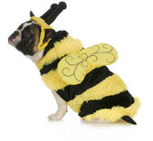 Dog wearing bee costume — Stok fotoğraf