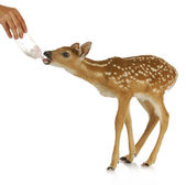 Hand raising fawn — Stock Photo