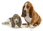Two basset hounds — Stock Photo
