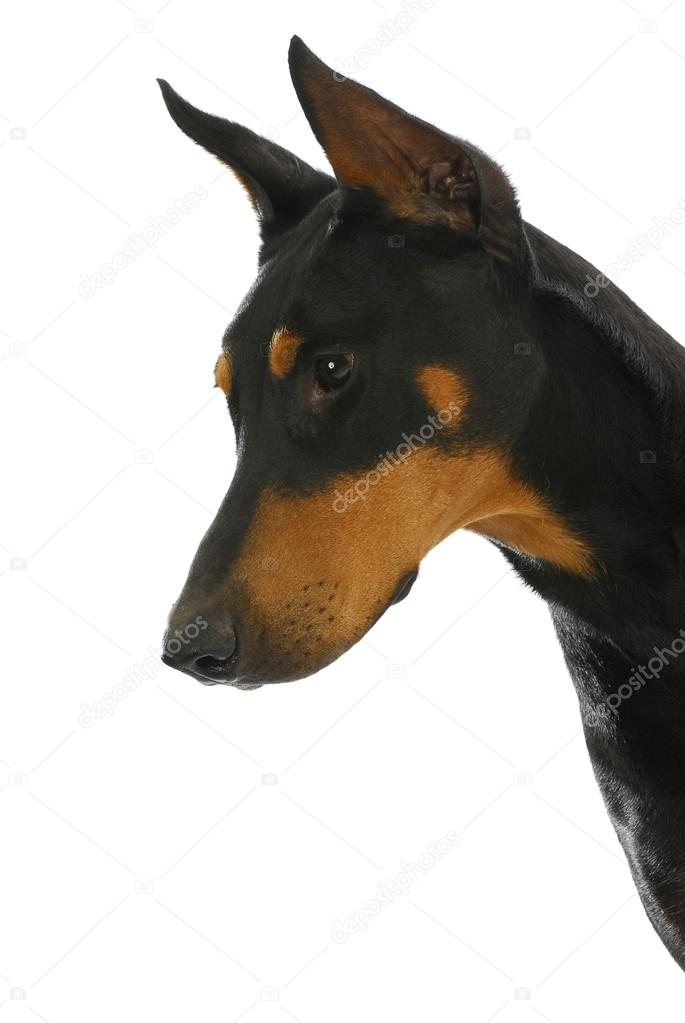 Guard dog - doberman pinscher in protective stance isolated on white background — Stock Photo #15313213