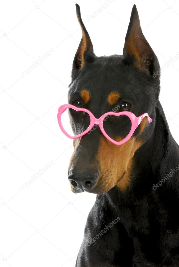 Dog love  - doberman pinscher wearing heart shaped glasses on white background — Stock Photo #15313247