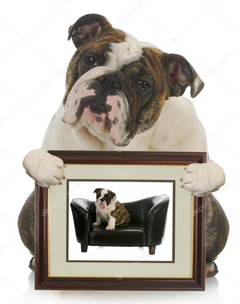 Young puppy grown dog - english bulldog holding picture of itself when it was a puppy  Stock Photo #15313975