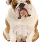 Ugly dog — Stock Photo #15473811