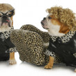 Diva dogs — Stock Photo