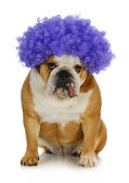 Funny clown dog — Stock Photo