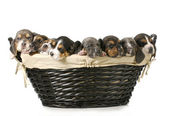 Basket of bassets — Stock Photo