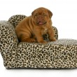 Puppy on the furniture — Stock Photo