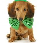 Собака день Святого Патрика — Стоковое фото