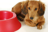 Dog waiting to be fed — Stock Photo