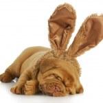 Постер, плакат: Dog wearing bunny ears