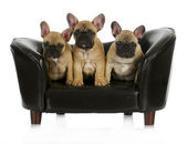 French bulldog litter — Stock Photo