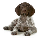 German short haired pointer puppy — 图库照片