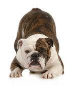 Hravý pes — Stock fotografie