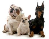 üç köpek — Stok fotoğraf